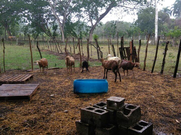 Cuatreros sacrifican 15 ovejos en Guayabo Dulce de Hato Mayor