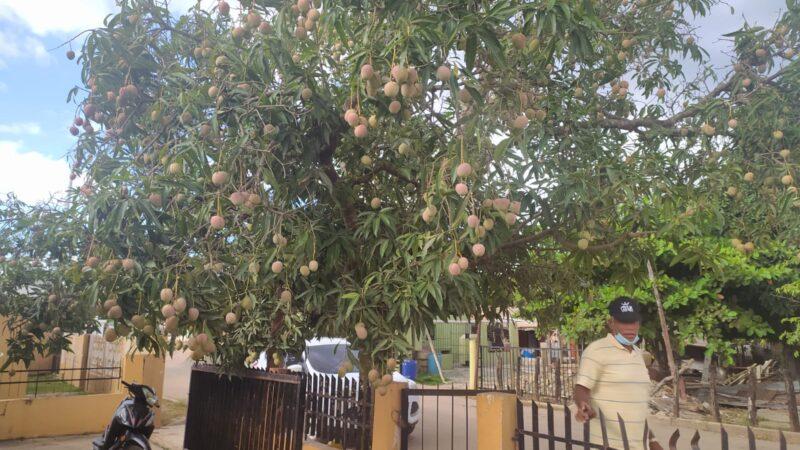 Sobreproducción de mangos lleva alegría a consumidores y desesperanzas a los productores en el Este