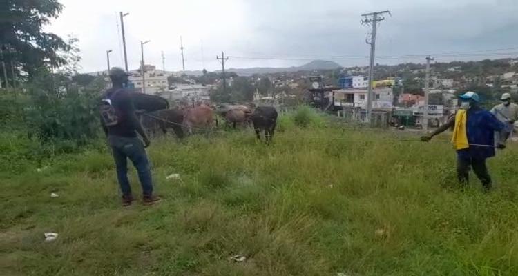 PN de El Seibo recupera 8 vacas habían sido sustraída