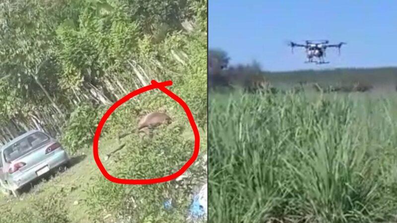 (VIDEO) Químicos lanzados por drones matan animales domésticos en Hato Mayor